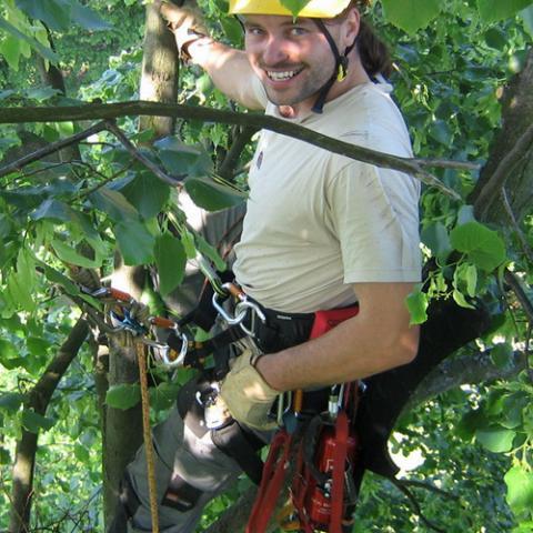 Arboristické práce, zdravotní řez stromu, Kuks