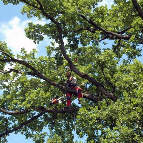 Arboristické práce, bezpečnostní řez stromu, Černilov
