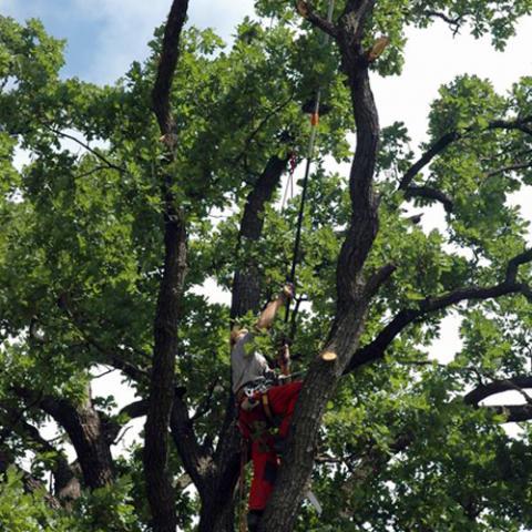 Arboristika, bezpečnostní řez stromu, Česká Rybná