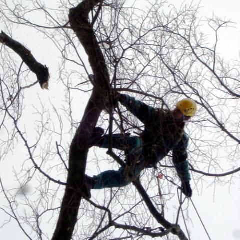 Arboristické práce, zdravotní řez stromu, Česká Rybná