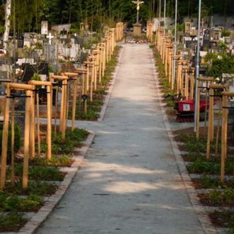 Výsadba stromořadí - Náchod, hřbitov 2