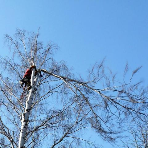 Arboristika, rizikové kácení stromů, Náchod - hřbitov