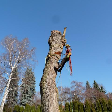 Arboristika, rizikové kácení stromů, Náchod - hřbitov 2
