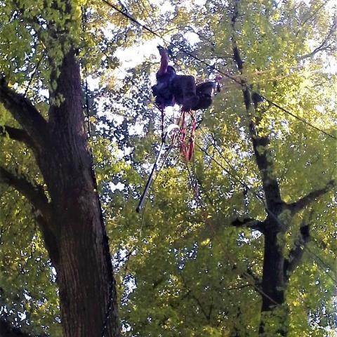 Arboristika, bezpečnostní řez stromu, Náchod