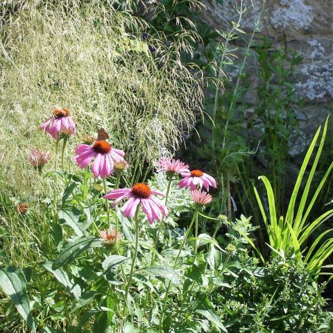 Zahradní úprava - výsadba trvalek (Echinacea)