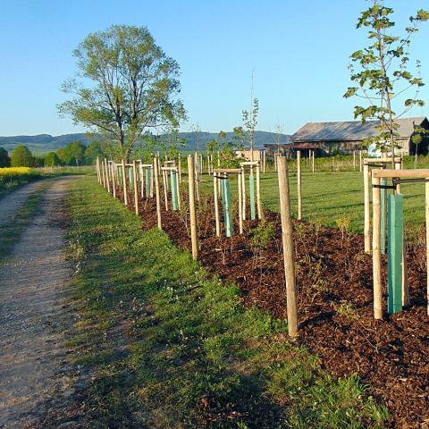 Krajinářské práce - výsadba stromků