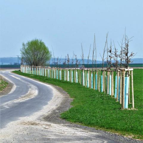 Krajinářské úpravy - výsadba stromů - javory