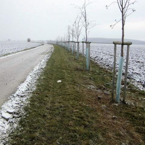 Výsadba stromů u polní cesty - Jičínsko